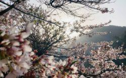 桜Collection 2021in今治